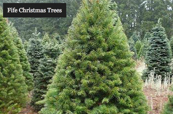 Nordmann Fir Christmas Trees From 19 Itison