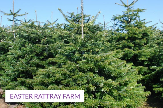 Nordmann Firs; cut down your own tree for Xmas