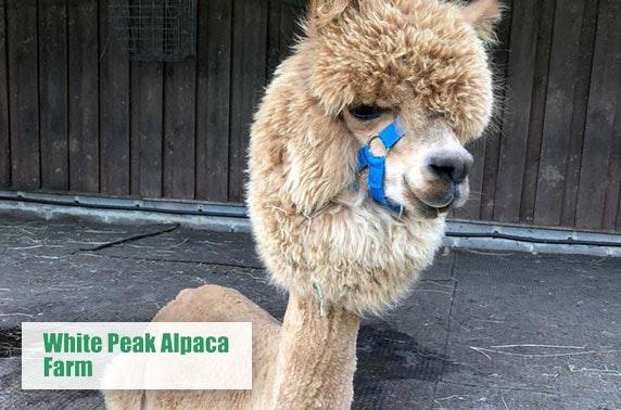 Adorable alpaca cuddling experience!